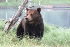 """The sitting bear"",,,in wilderness."