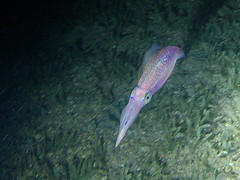 Squid light show