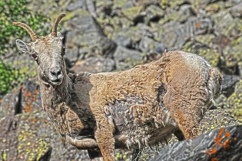 Shaggy Sheep RMNP DSC_6011
