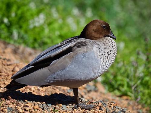 Wood Duck (aka Maned Duck)