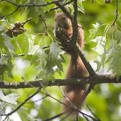 Image by hedera.baltica (hedera_baltica) and image name Eating acorns photo  about Red squirrel (Sciurus vulgaris) perched on an oak tree branch end eating acorns. Red squirrels are supposed to be unable to digest acorns, but apparently no one told him/her.  Wiewiórka (Sciurus vulgaris) siedząca na dębowej gałezi i jedząca żołędzie. Wiewiórki pospolite (rude) podobno nie są w stan