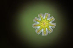 Image by Ron and Co. (aaronmstanley) and image name Seed star photo