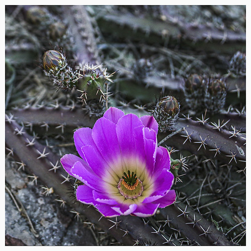 TGB #8 2019; Blossom on a Creeping Cactus