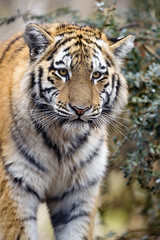Inquisitive young tigress