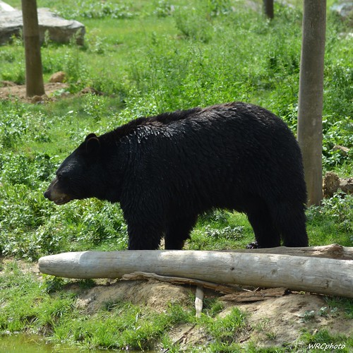 Ours noir du Canada.