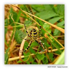 : Argiope bruennichi. Wasp Spider