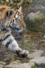 Profile of a young tigress walking
