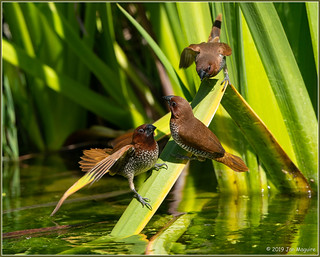 Scaly-breasted Munia 4130
