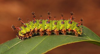 Common Sergeant Butterfly Caterpillar (Athyma perius, Nymphalidae)