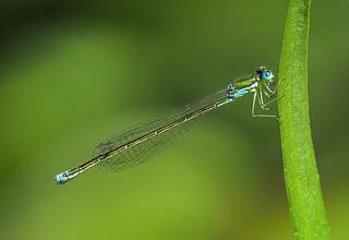 Female Sedge Sprite - Nehalennia irene (Coenagrionidae) 119y-7263105