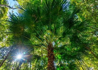Cabbage palm/Livistona australis