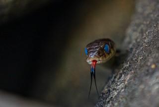 Garter Snake, lake Paupac PA