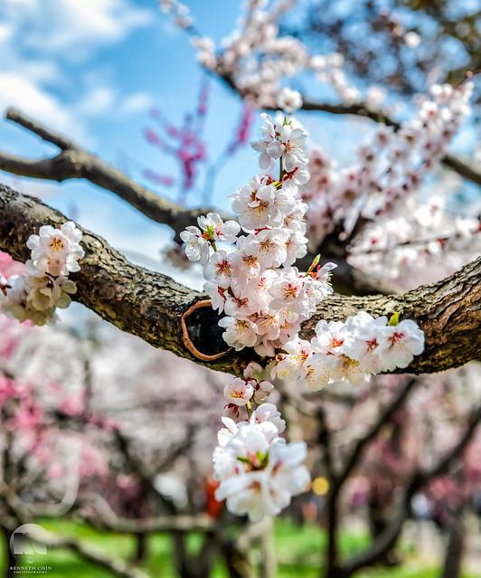 Maruyama Park Cherry Blossom   Sapporo