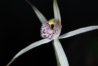 Jonesiopsis hiemalis (syn Caladenia hiemalis) 2019-08-02 02