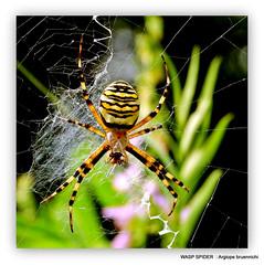 Wasp Spider:Argiope bruennichi.