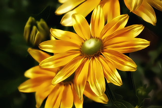 Rudbeckia ~ Prairie Sun