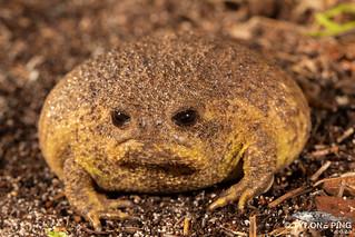 Breviceps gibbosus - Cape Rain Frog