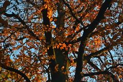 Boom in de herfst in Arnhem (135FJAKA_2556)