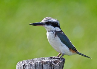 Kingfisher - Red-backed (Todiramphus pyrrhopygius)