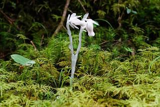 Non-green flowers、ギンリュウソウ 1
