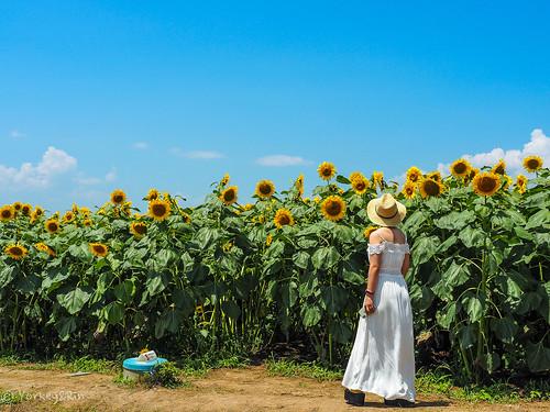 2019 Sunflower field #3