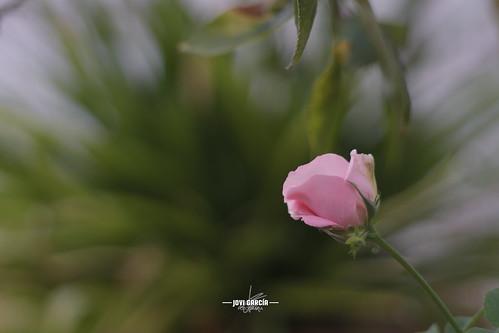 Rosa en el patio