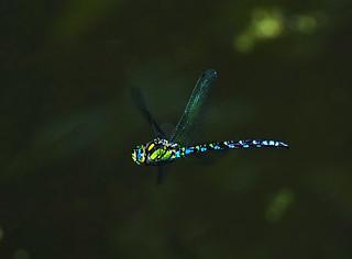 Große Königslibelle (Anax imperator) im Flug