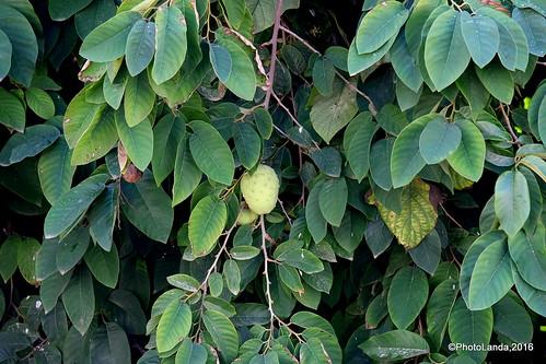 Annona cherimola  - Chirimoyo (fruto)