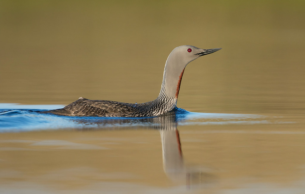 Red-throated Loon Nome AK June 2019_P2A1782