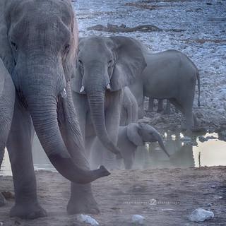 Afrikaanse olifant - Loxodonta