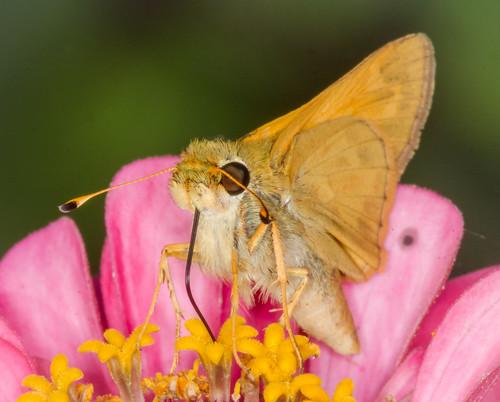 Sipping Zinnia Nectar