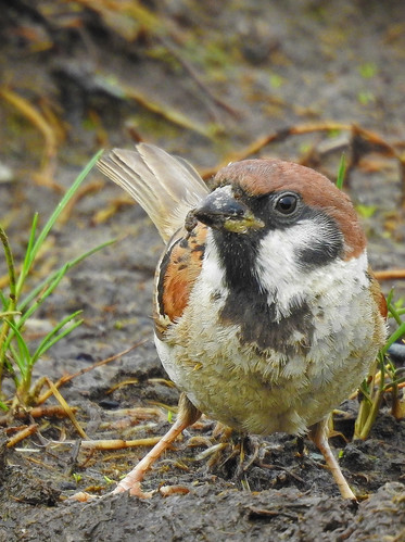 Tree Sparrow (Passer montanus) male