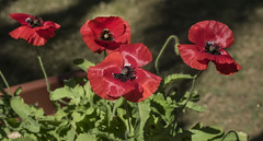 Four Remember Poppies a bit early for 11th Nov=