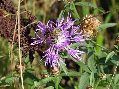 Wild bee on blue thistle.