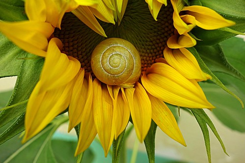 sunflower with ornament
