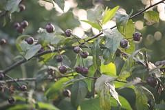 Fruit Garden Bokeh | 23. August 2019 | Tarbek - Schleswig-Holstein - Deutschland