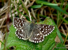 1 - Skippers, Swallowtails & Whites