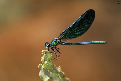 "libelinha"", Gaiteiro azul, ""Damselfly"" (Calopteryx virgo)"