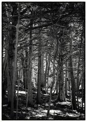 Del Monte Forest No.1 B&W
