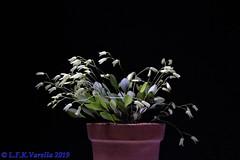 Pabstiella matinhensis - 2019