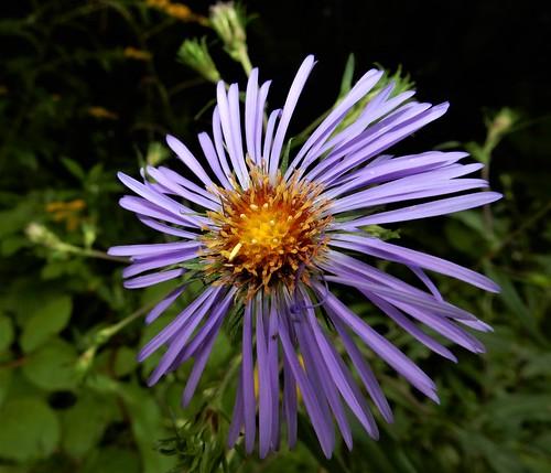 Purple-stemmed Aster (Symphyotrichum puniceum)