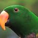 Green Eclectus Parrot