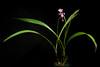 Photo:[Onna-son, Okinawa, Japan / 沖縄県国頭郡恩納村] Spathoglottis plicata Blume, Bijdr. Fl. Ned. Ind.: 401 (1825) By sunoochi