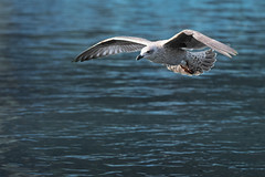 Gull in Regent's Park
