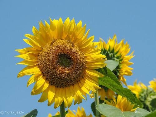 2019 Sunflower #6