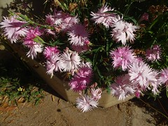 Gayndah Queensland. Crimped edged pink pinks.