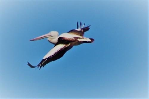 pelican2408