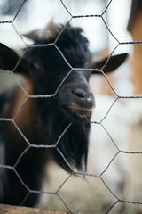 Black goat pushing its muzzle through a wire fence