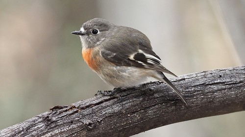 Scarlet Robin (f)