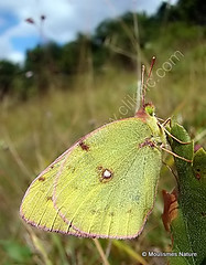 2 - Clouded Yellows > Peacock